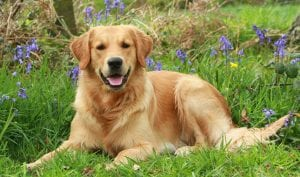 Brown Golden Retriever Dog best dog for kids