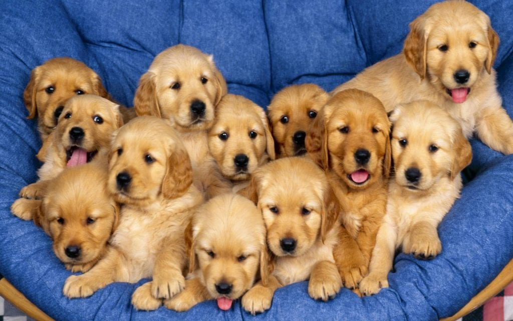 Cute Golden Retriever Dogs