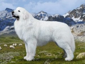 Great Pyrenees largest dog breeds