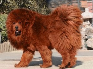 Red Tibetan Mastiff largest dog breed