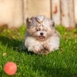 Shih Tzu Dogs and Puppies – Toy Dogs