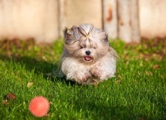 Shih Tzu Puppy Playing