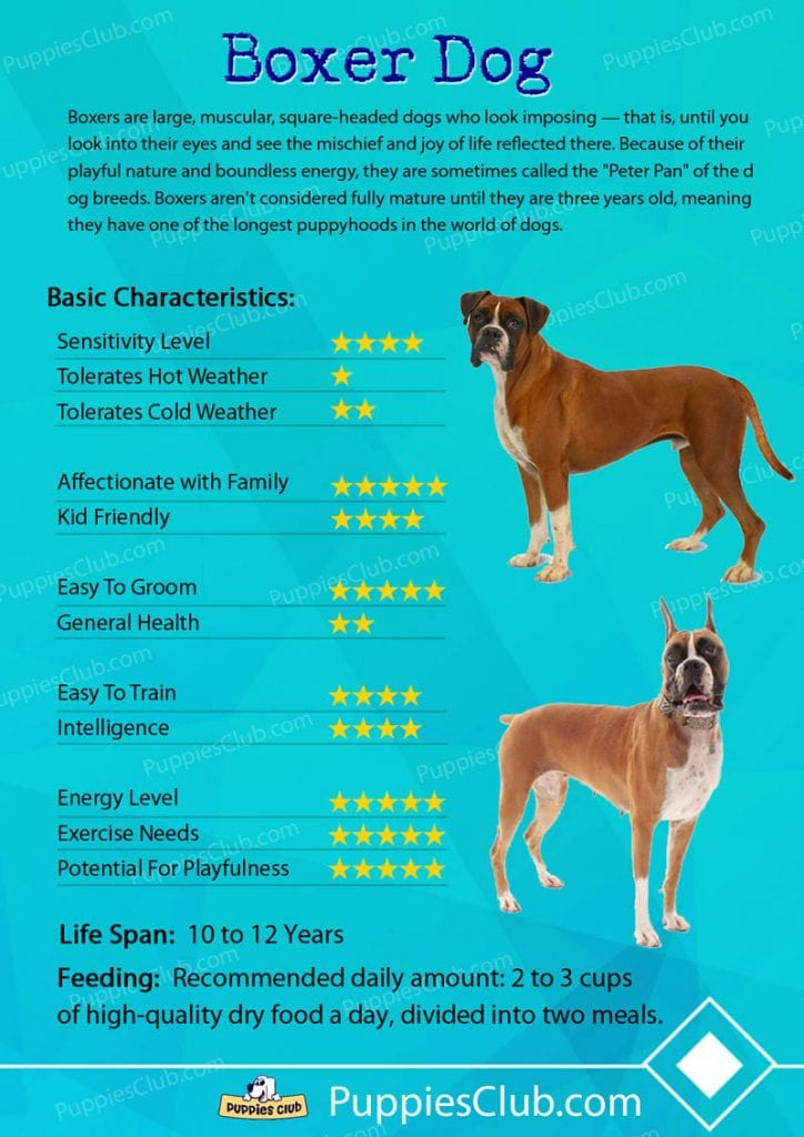 boxer dog breed characteristics