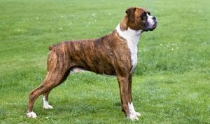 Brown Boxer Dog best dogs for kids