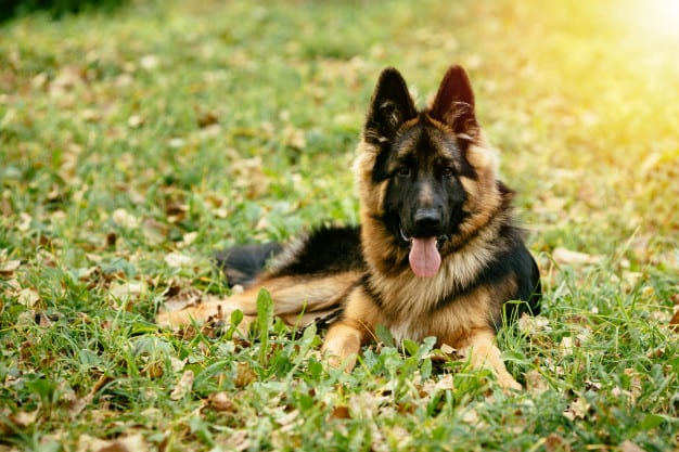 dog-german-shepherd