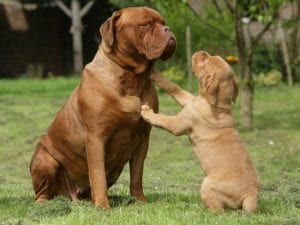 Dogue De Bordeaux largest dog breed