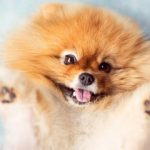Funniest Pomeranian Puppies Video Compilation