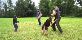 German Shepherd Gog Protecting