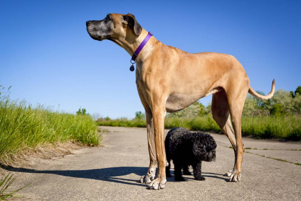 What Are The  Largest Dog Breeds