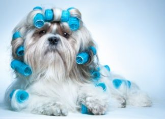 shih tzu with curlers
