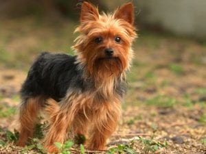 Toy Dog Breed Yorkshire Terrier