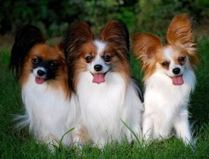Toy dog breeds papillon dogs