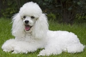 Toy Dog Breed