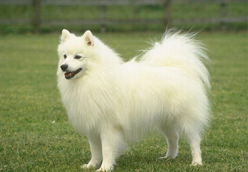 Pomeranians Facts Pom Dogs Breed Information Pictures