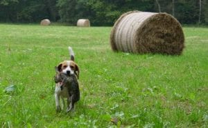 Hunting Dog Breeds Beagle