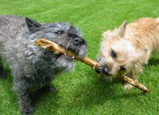 Cairn Terrier Dogs and Puppies