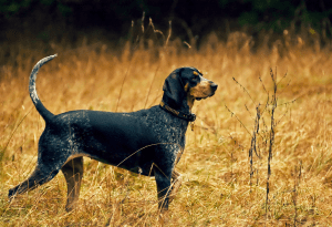 Coonhound Hunting Dog Breeds
