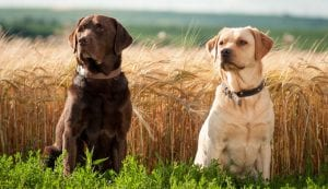 Labrador Retriever Dogs Best Dog Breeds for Kids
