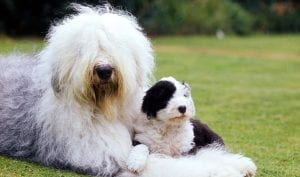 Old English sheepdog best dog breeds for kids