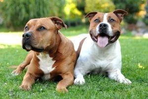 American Staffordshire terriers Best dog bredds for Kids
