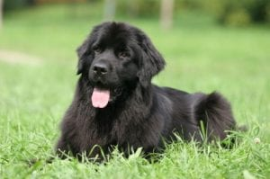 Newfoundland best dog breeds for kids