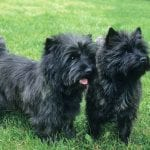 Cairn Terrier Dogs