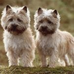 Cairn Terrier Dogs Colors