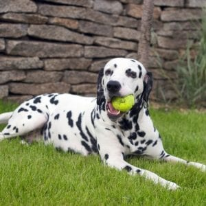 dalmatian best dog breeds for kids