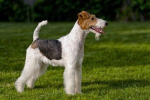 Hunting Dog Breeds Fox Terrier