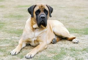 mastiff best Dog Breeds for kids