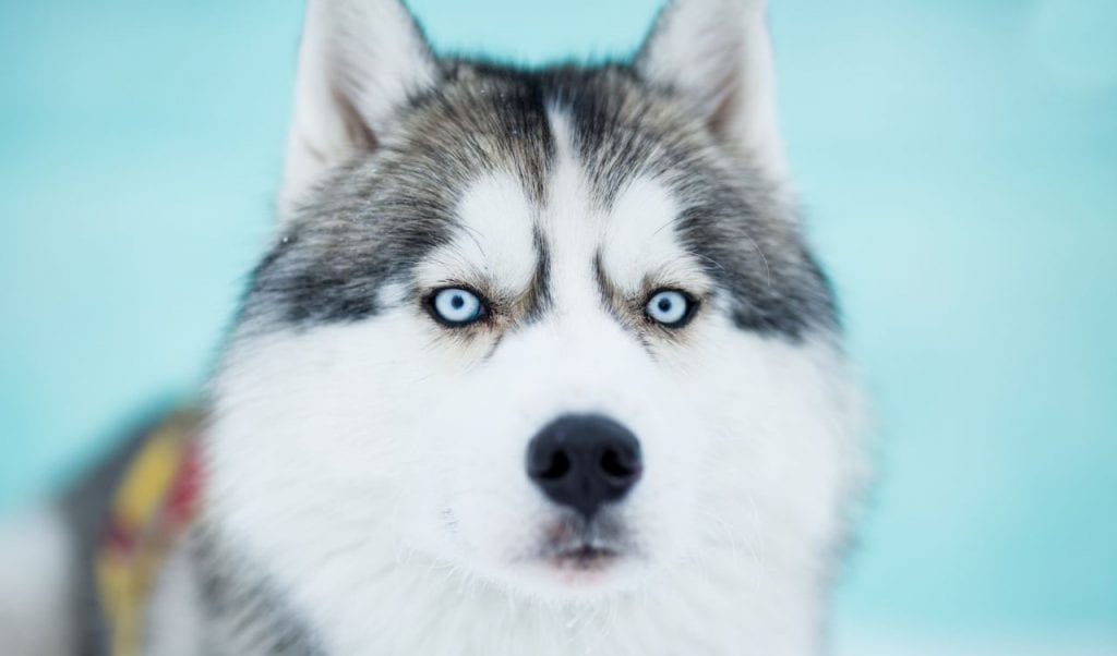 siberian husky strongest dog breeds