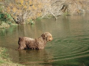 Hunting Dog Breeds Spanish Water Dog