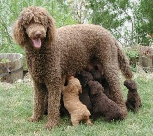 French Standard Poodles