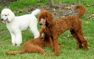 Standard Poodle Dogs