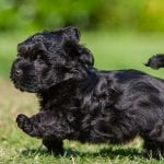 black havanese dog