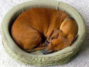 Curled dog sleeping position