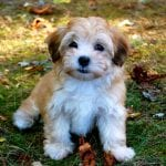 Havanese Puppies and Dogs
