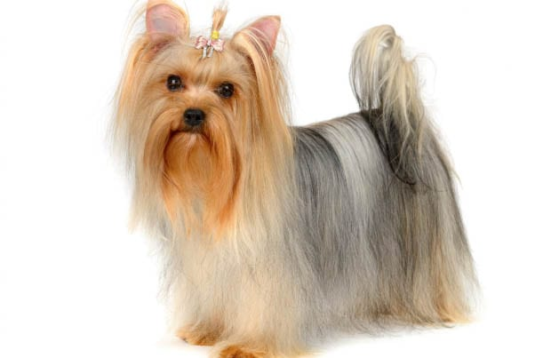Incredible Top 35 Latest Yorkie Haircuts Pictures Yorkshire Terrier Haircuts Short Hairstyles Gunalazisus