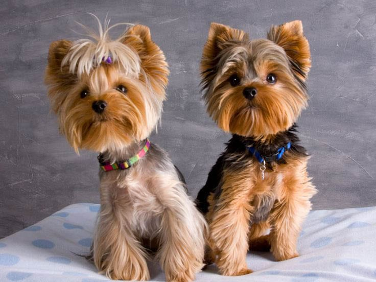 Yorkie Puppy Cut Grooming Styles Great Home Inteiror