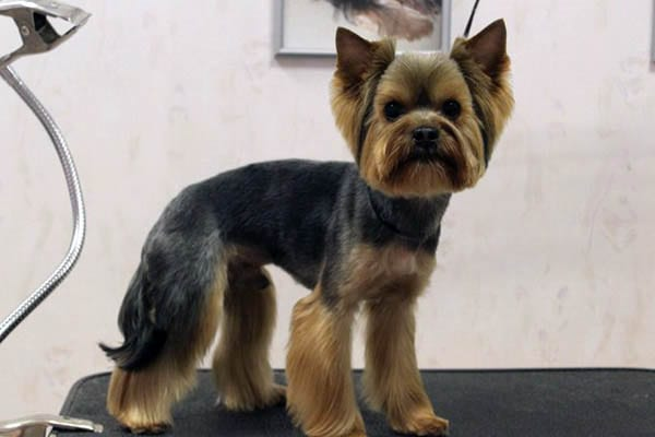 Stupendous Top 35 Latest Yorkie Haircuts Pictures Yorkshire Terrier Haircuts Short Hairstyles Gunalazisus