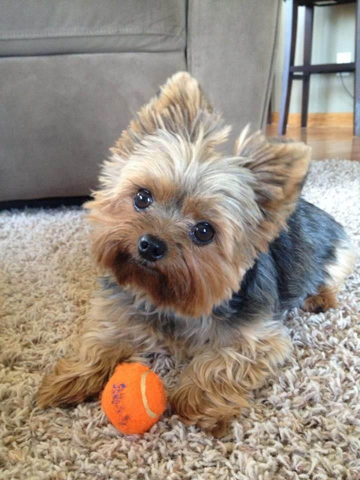 Yorkie Haircuts Pictures , Coolest Yorkshire Terrier Haircuts