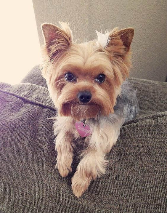 Top 105 Latest Yorkie Haircuts Pictures - Yorkshire