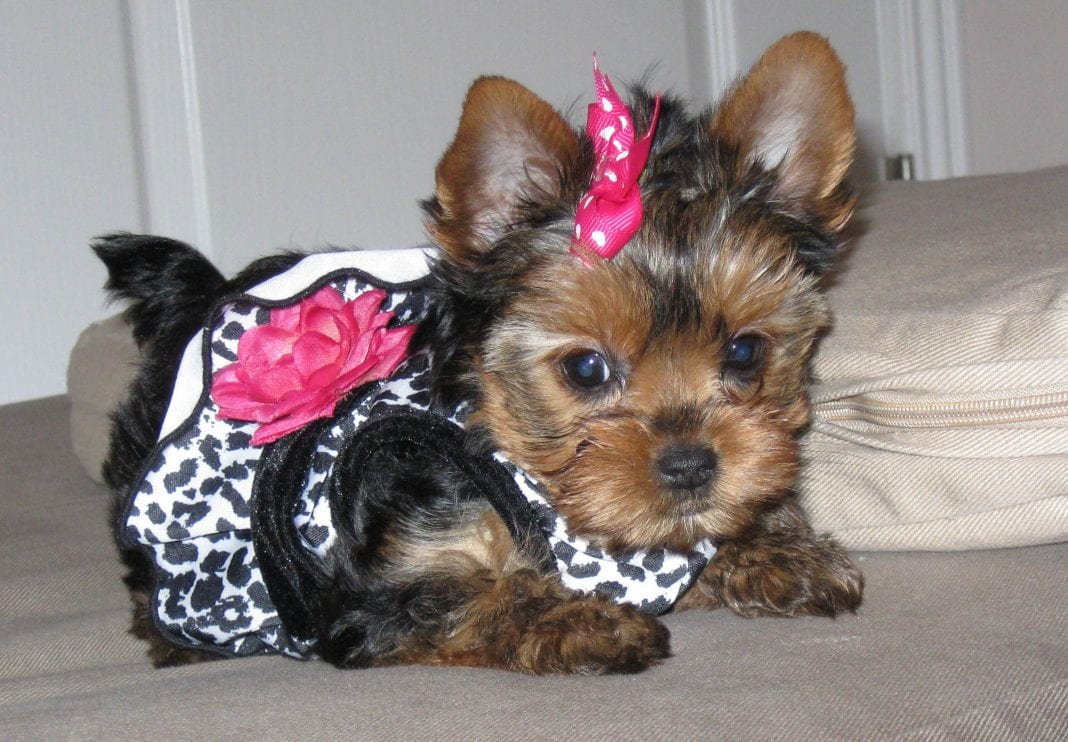 Top 105 Latest Yorkie Haircuts Pictures Yorkshire Terrier Haircuts