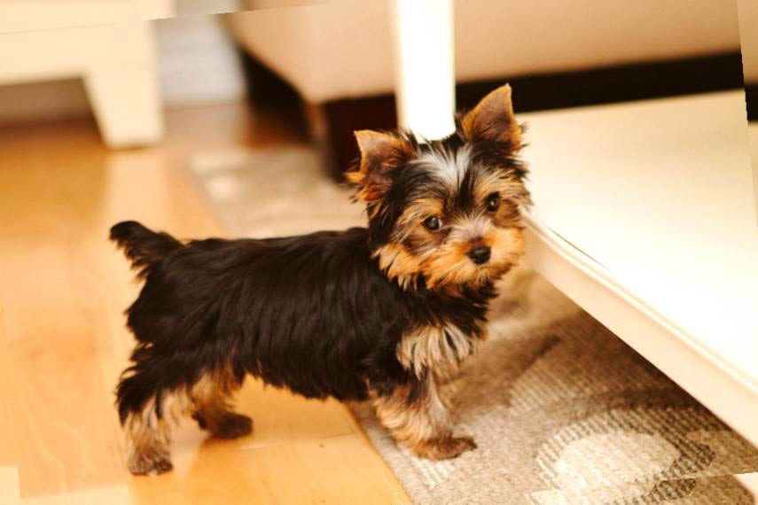 Cool Top 35 Latest Yorkie Haircuts Pictures Yorkshire Terrier Haircuts Short Hairstyles Gunalazisus