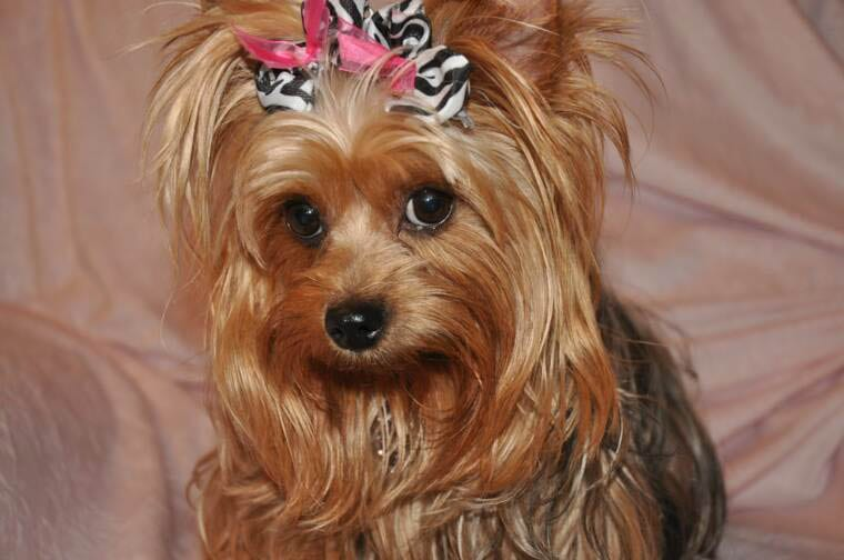 Top 105 Latest Yorkie Haircuts Pictures Yorkshire