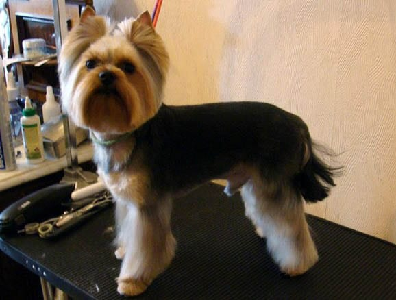 Awesome Top 35 Latest Yorkie Haircuts Pictures Yorkshire Terrier Haircuts Short Hairstyles Gunalazisus