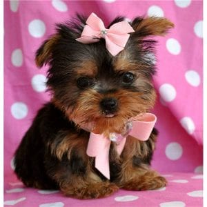 10 Amazing Facts About Yorkshire Terriers Yorkie Facts