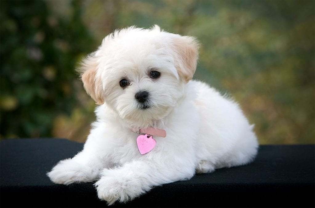 cute while maltese dog