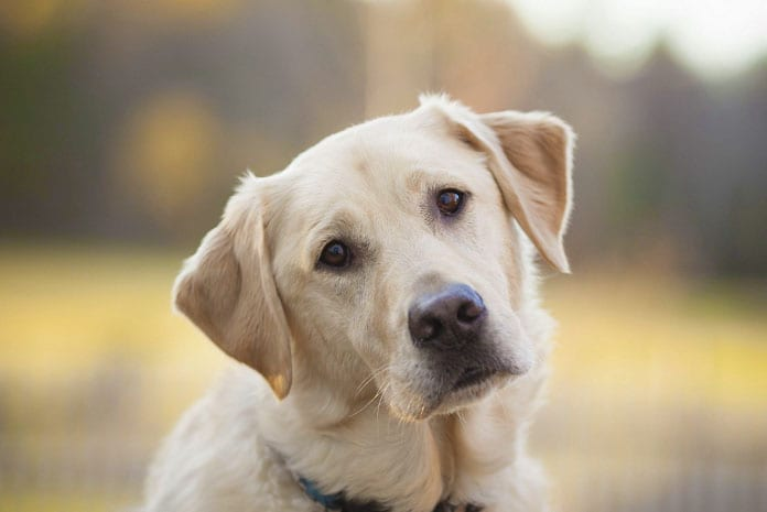 about labrador retriever