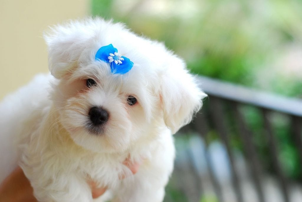 maltese puppy blue bow